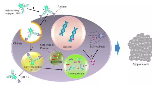 TROP-2 ADC 伴随诊断开发,为什么首选免疫组织化学法?