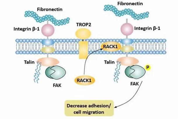 TROP2促进肿瘤浸润和转移(图片来源Cusabio)